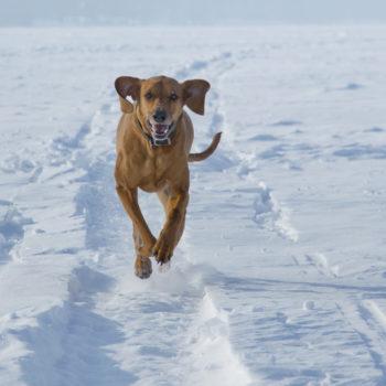 Hound dog running on Lake Geneva