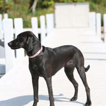 A lab/coonie on pier at Eleven Gables Inn and Cottage